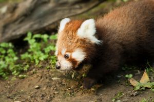 Red Panda Cub by v4nity
