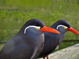 Inca Tern close up by gee231205
