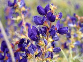 Flowers : mojave indigo bush by ClymberPaddler