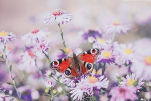 my last butterfly by CliffWFotografie