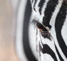 Eye of the Zebra by FSGPhotography