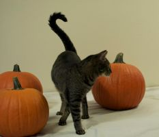 The Pumpkin Cat 4 by MajesticStock