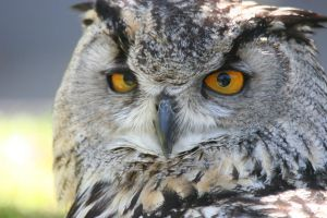Eurasian Eagle Owl- Close Up by Purple-Spark