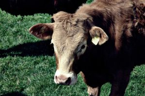 Brown cow by naomialexander