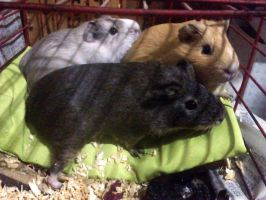 three guineapigs in the cage by Kna