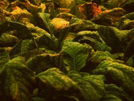 Tobacco III by PixiePoxPhotography