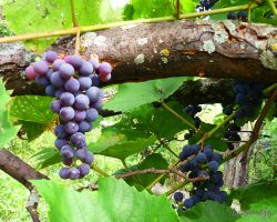 Wild grapes by LasmejaLora