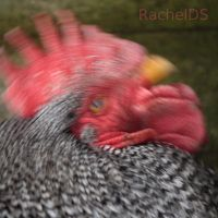 Crazy Chicken by RachelDS