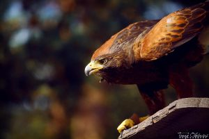 Harris's Hawk by stillme
