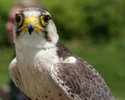 Lanner Falcon 3 by asaph70