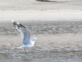 Seagull I by BaronOfTheWillows