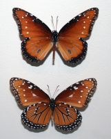 Denver Museum Butterfly 22 by Falln-Stock