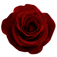 ValentinesDay2012 Rose png by Bnspyrd