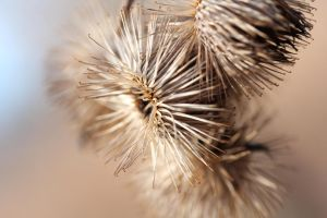 Burdock seed heads 4 by greyrowan