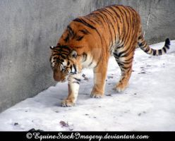 Siberian Tiger 2 by EquineStockImagery