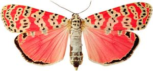 Spotted Moth by TheButterflyBabe