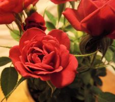 Red rose stock by DarkDawn-Rain
