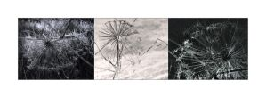 Hogweed Triptych by lornamacdonald