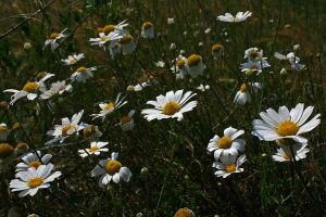 Daisy 04 by mordoc-stock
