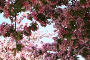 blossoms by michell-e