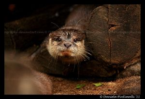 Otter Portrait V by TVD-Photography