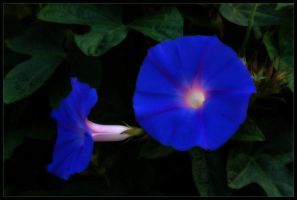 MORNING GLORY 3 by THOM-B-FOTO