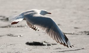 Seagull 10 by 88-Lawstock