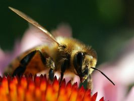 Bee on a Cone Flower by TruemarkPhotography