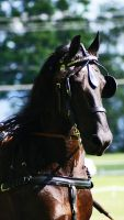 Friesian I by Blissfully-Blind