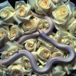 Roses and Snakes by tanvine