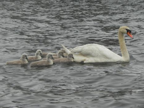 Swans and cygnets 8 by cacher18