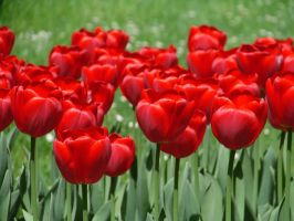 red tulips by kali-hypochondria