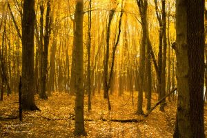 Golden Forest by AppareilPhotoGarcon