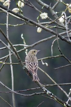Meadow pipit by AnAE11