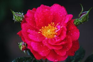 Rose Droplets by Tyyourshoes
