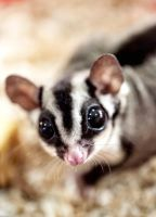 Sugar Glider by tpaulanny