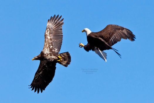 Bald Eagle Battle by La-Vita-a-Bella