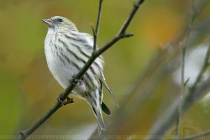 Siskin by thrumyeye