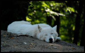 wolf by morho
