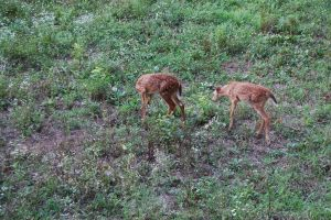 Twin spotted fawns by AprilEileen2013