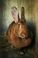Rabbit portrait by Fresnay