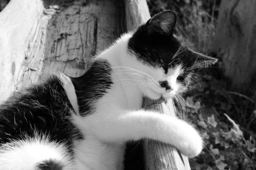 Black and White_Cat IV by Rotschweif