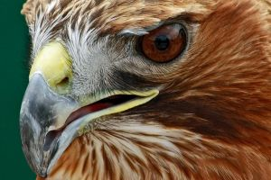 Red-tailed Hawk by Tinap