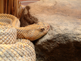 Crotalus Durissus Unicolor by Koeryn