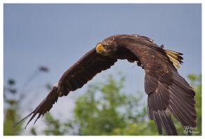 Juvenile Bald Eagle Merrit by W0LLE