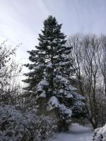 A snow covered fir tree by termkiller