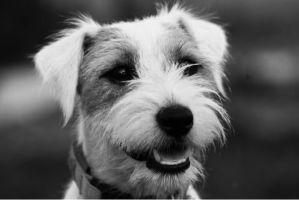 Jack Russell Terrier by cielshapes