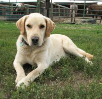 Yellow Lab Stock 5 by escapist1901