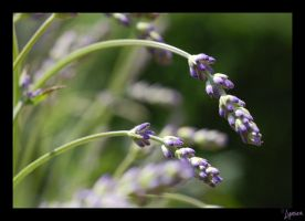 Lavender Buds by lynsea