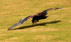 Bateleur Swoop. by quaddie